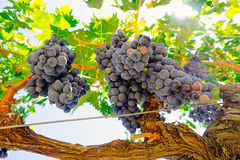 Red grapes on the vine. Tinta de Toro grape. View from below.  Royalty Free Stock Photos