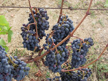 Red grapes on the vine . Tuscany, Italy.  Royalty Free Stock Photo