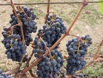 Red grapes on the vine . Tuscany, Italy.  Stock Photos