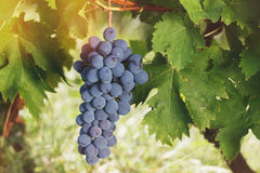 Red grapes on  the vine under the sun Stock Photo