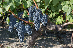 Red grapes on the vine. Vine grape fruit plants outdoors Royalty Free Stock Image