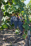 Red grapes on the vine. Vine grape fruit plants outdoors Royalty Free Stock Photo