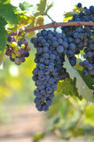 Red Grapes on the Vine. In a vineyard Stock Image