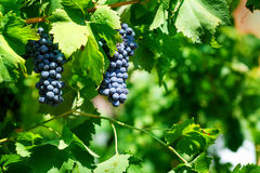 Red grapes on vine. Vineyard Stock Images