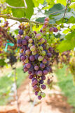 Red Grapes on the vine. In vineyard before harvest Royalty Free Stock Photo