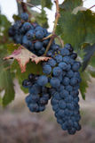 Red Grapes On Vine. In Vineyard For Summer Harvest- Victoria, Australia Royalty Free Stock Image