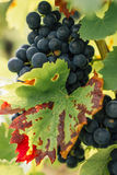Red Grapes on vines Stock Images