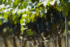Red Grapes in vineyard Royalty Free Stock Images