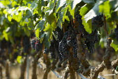 Red Grapes in vineyard Stock Image