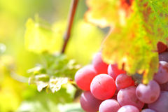 Red grapes in the vineyard Royalty Free Stock Image