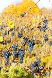 Red grapes in vineyard Stock Images