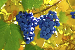 Red grapes in a vineyard Stock Image