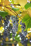 Red grapes in a vineyard Stock Photo