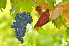 Red grapes in the vineyard Royalty Free Stock Photos