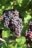 Red Grapes in Vineyard Stock Photos