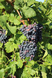Red Grapes in Vineyard Stock Photography