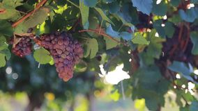 Red grapes in vineyard Royalty Free Stock Photo