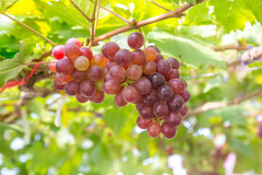 Red Grapes in the vineyard Stock Photography