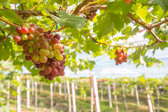 Red Grapes in the vineyard Royalty Free Stock Photography