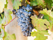 Red grapes in vineyard in Franschhoek, South Africa Royalty Free Stock Images