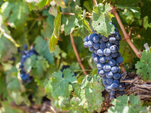Red grapes in vineyard in Franschhoek, South Africa Stock Photo