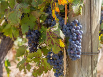 Red grapes in vineyard in Franschhoek, South Africa Stock Photography