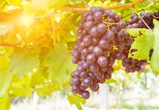 Red grapes in the vineyard ready for harvest Royalty Free Stock Photos