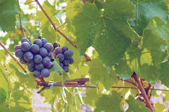 Red grapes on the vineyard. Some red grapes on the vineyard royalty free stock photography