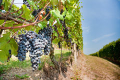 Red grapes in a vineyards Royalty Free Stock Photo