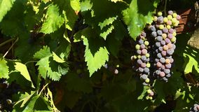 Red grapes on vineyards in Chianti region. Tuscany, Italy. 4K UHD Video. stock video