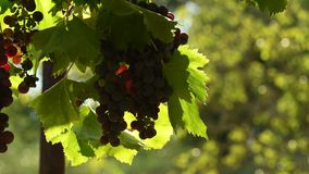 Red grapes on vineyards in Chianti region. Tuscany, Italy. 4K UHD Video. stock video footage