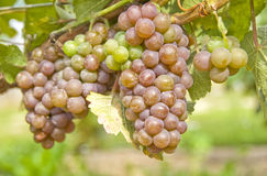 Red Grapes for White Wine Royalty Free Stock Images