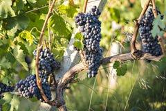 Red grapevin Tuscany Stock Photos
