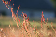 Red grass. Flower on blue background stock photography