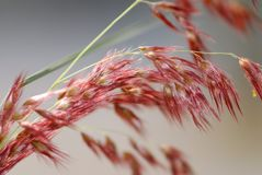Red grass. Beautiful red grass in nature royalty free stock photos