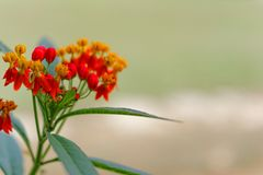 Red grass flowers in winter. Royalty Free Stock Photo