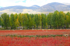 Red grass of Sangdui Stock Photo