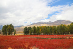 Red grass of Sangdui. What is red, the township is located in China's Sichuan province Ganzi state Sangdui red grass will one day because of the change of light Stock Photography