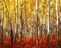 Red Grass Yellow Aspens. Vivid red bushes and yellow aspens Royalty Free Stock Photography