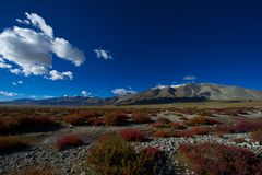 Red grasses before snow mountain. Took in Tibet, unusual red grasses in this season, before a snow mountain Royalty Free Stock Photo