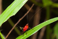 Red Grasshopper. On leaf background image Stock Images