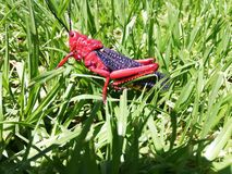 Red grasshopper on grass stock image
