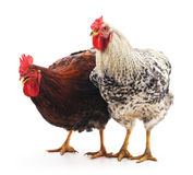 Red and gray cocks. Royalty Free Stock Photo