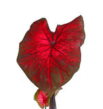Red and greeen leaves of a caladium plant isolated on white