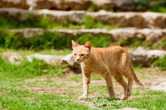 Red Greek cat in Byzantine town Mystras Stock Photography