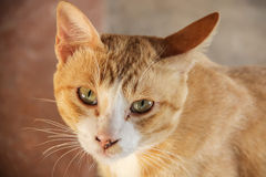 Red Greek stray cat. Cat that is Homeless animals Royalty Free Stock Image