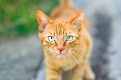Red Greek stray cat Royalty Free Stock Photos