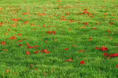 Red and green. Red petals on green grass plot Stock Photography