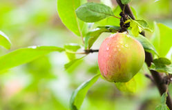 Red green apple with dew on the branch Royalty Free Stock Images