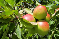 Red and green apple fruits on the tree Royalty Free Stock Photography
